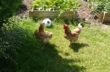 mes poulettes