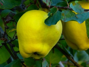quince-65181_640