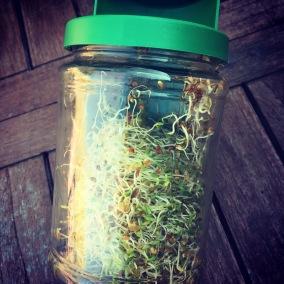graines-alfalfa